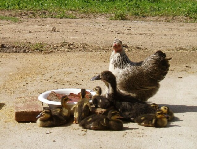 mamma-hen-and-ducklings.jpg