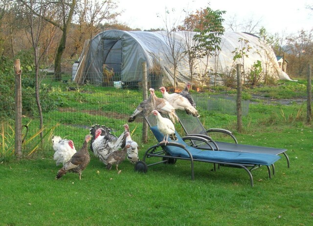 turkeys-on-the-chaise.jpg