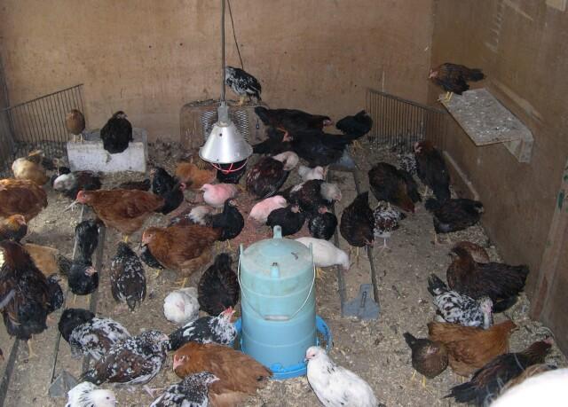 chickens-in-house.jpg