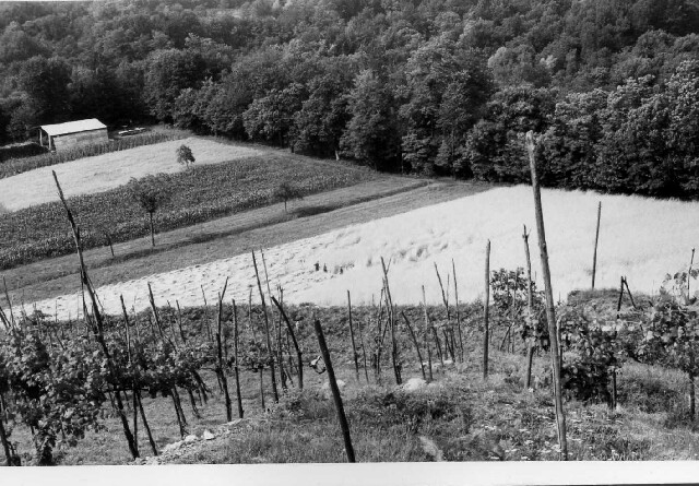 field-and-grapes-1970s.jpg